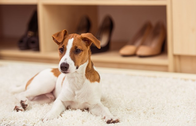 Get the pet hair out of your carpet quickly and easily