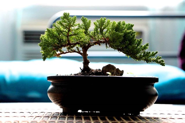 Bonsai For Beginners What Type Of Bonsai Tree Is Best For