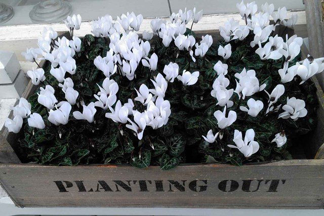 How to grow cyclamen indoors and outdoors