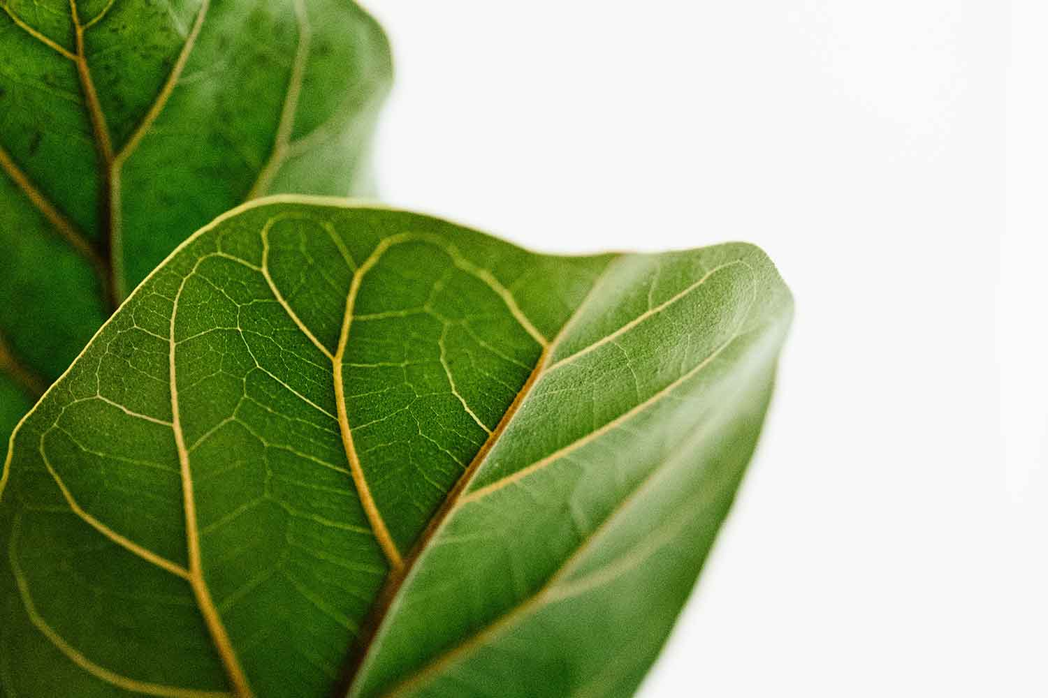 Why you should avoid moving your fiddle-leaf fig | Better Homes and Gardens