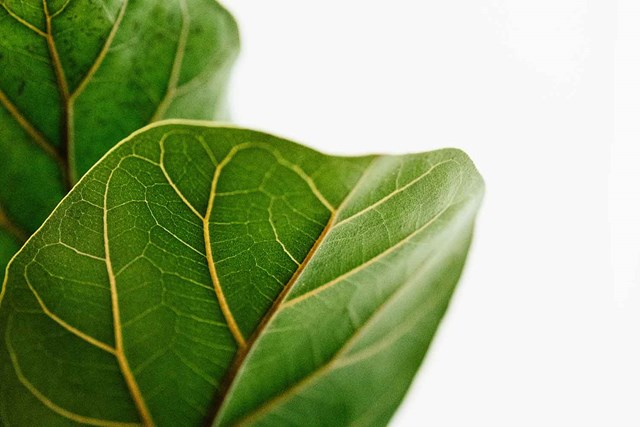 Four plants to consider instead of a Fiddle-leaf fig