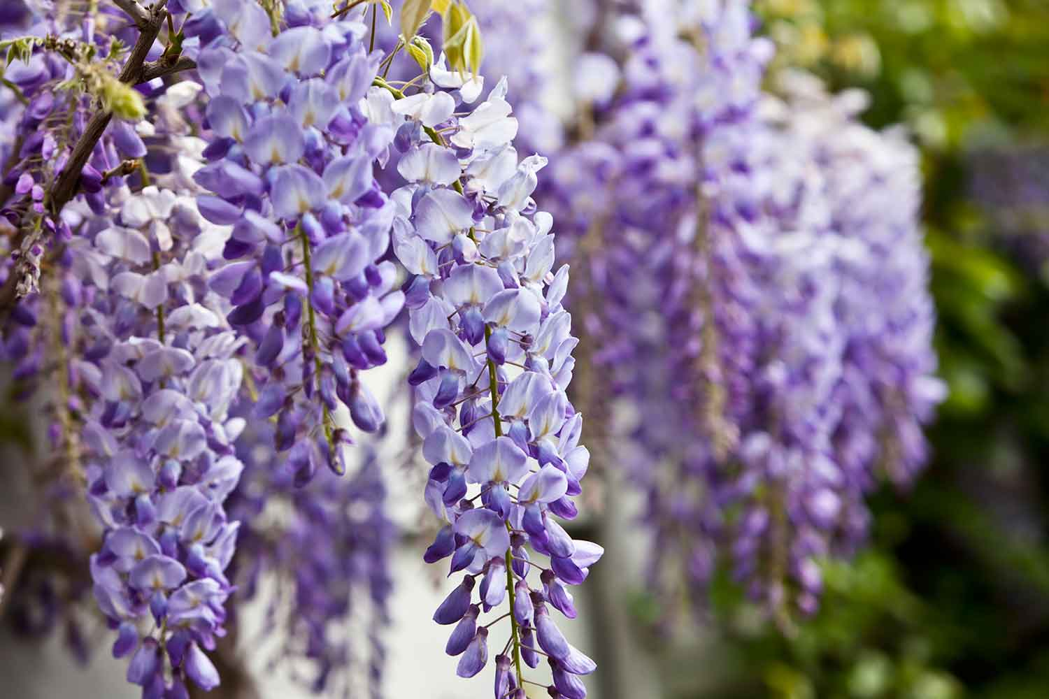 6 Flowering Trees To Grow For A Big Impact Better Homes And Gardens