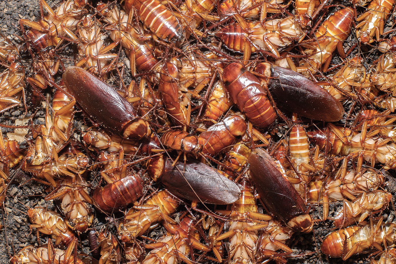 Cockroach Population Explodes Due To Hot And Humid Weather