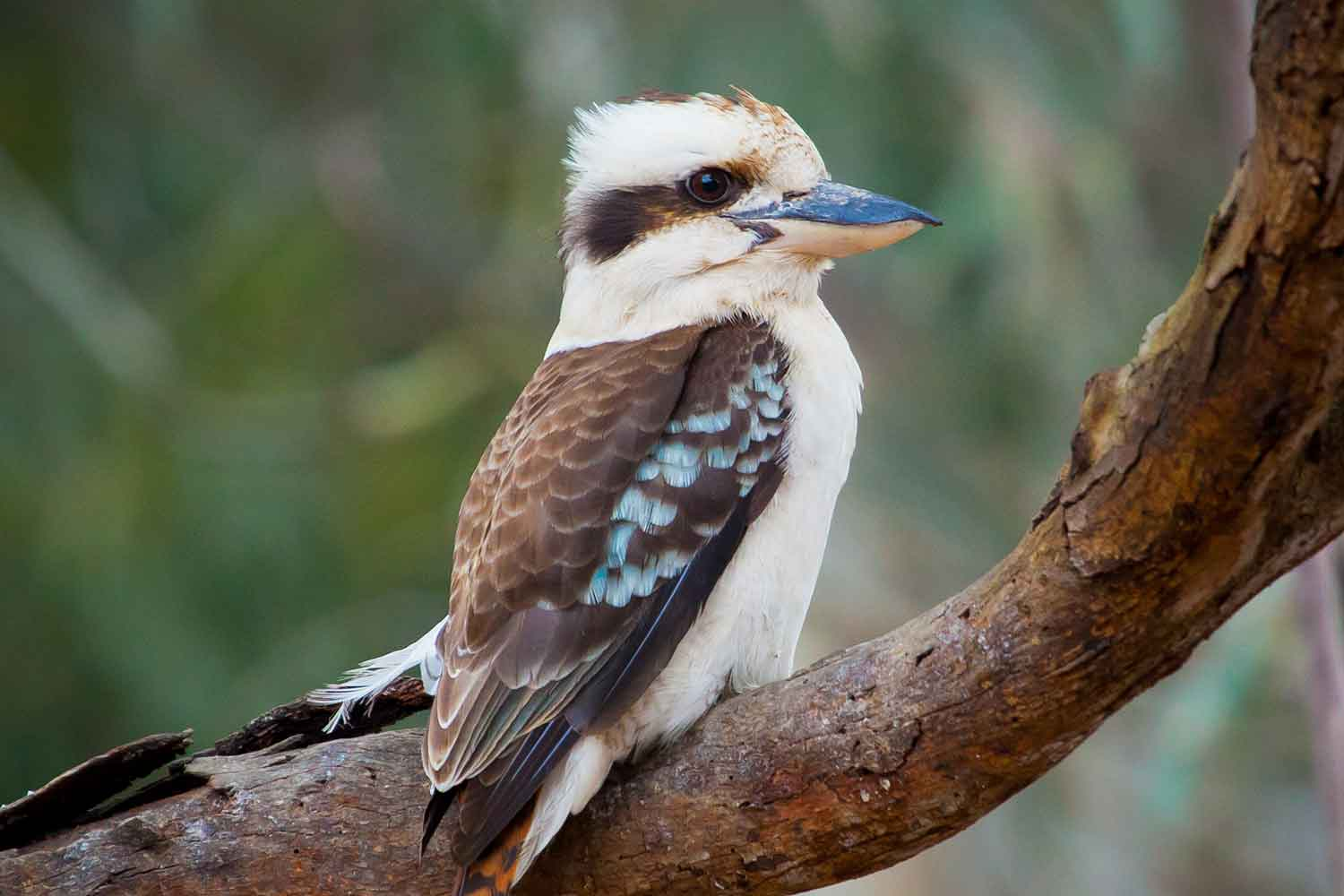 Why you shouldn't feed kookaburras mincemeat | Better ...