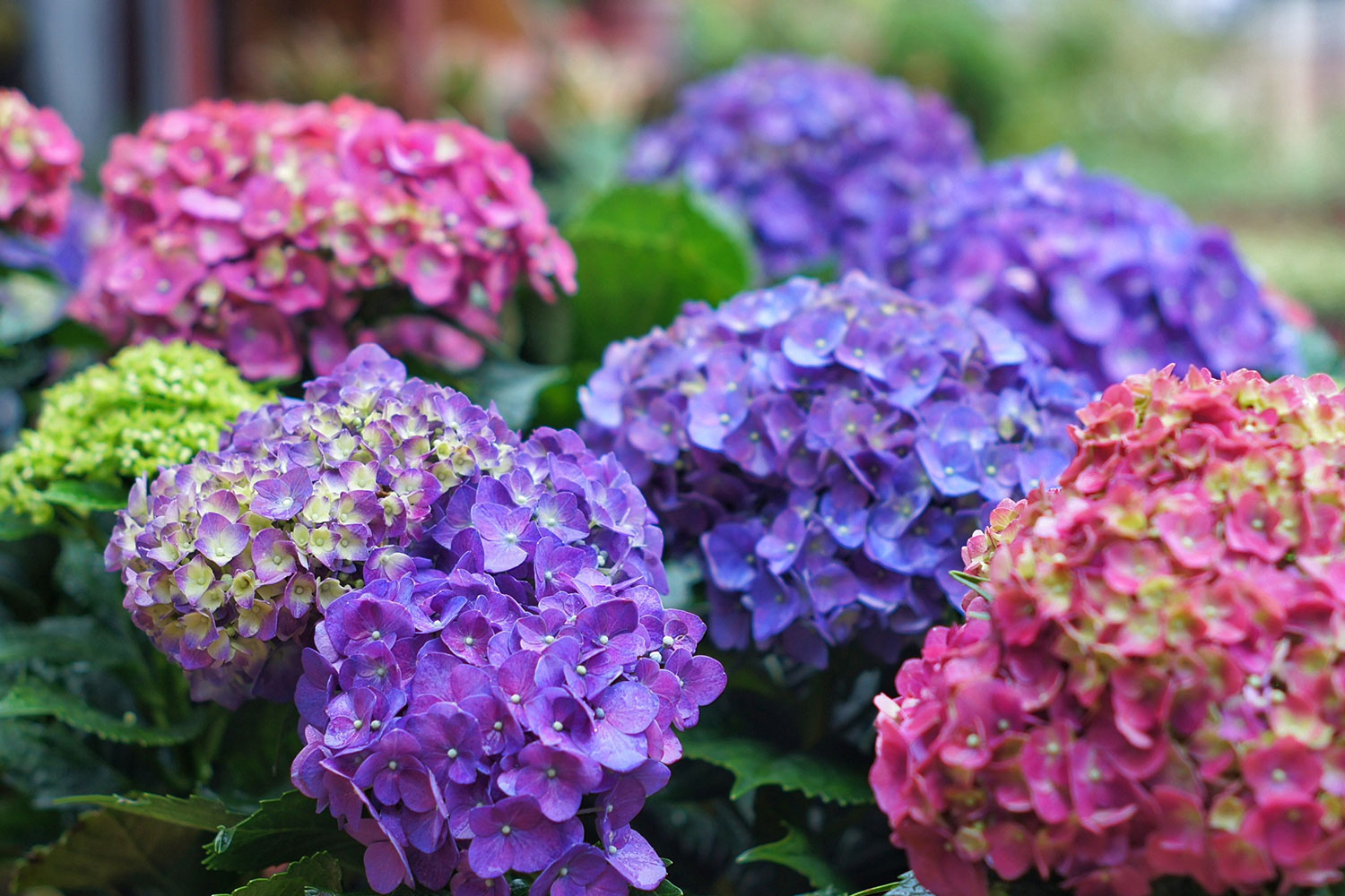 Hydrangeas Pruning Basics You Need To Know Better