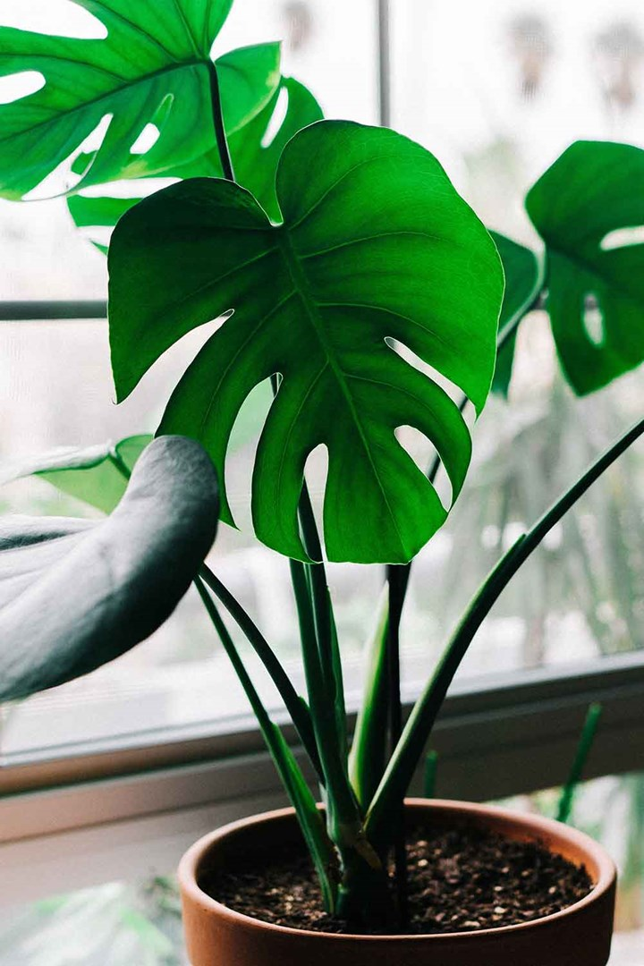 How To Grow And Care For A Monstera Deliciosa Or Swiss Cheese Plant