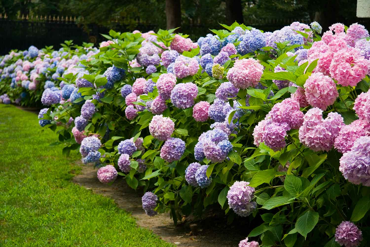 How To Get More Hydrangea Flowers Better Homes And Gardens
