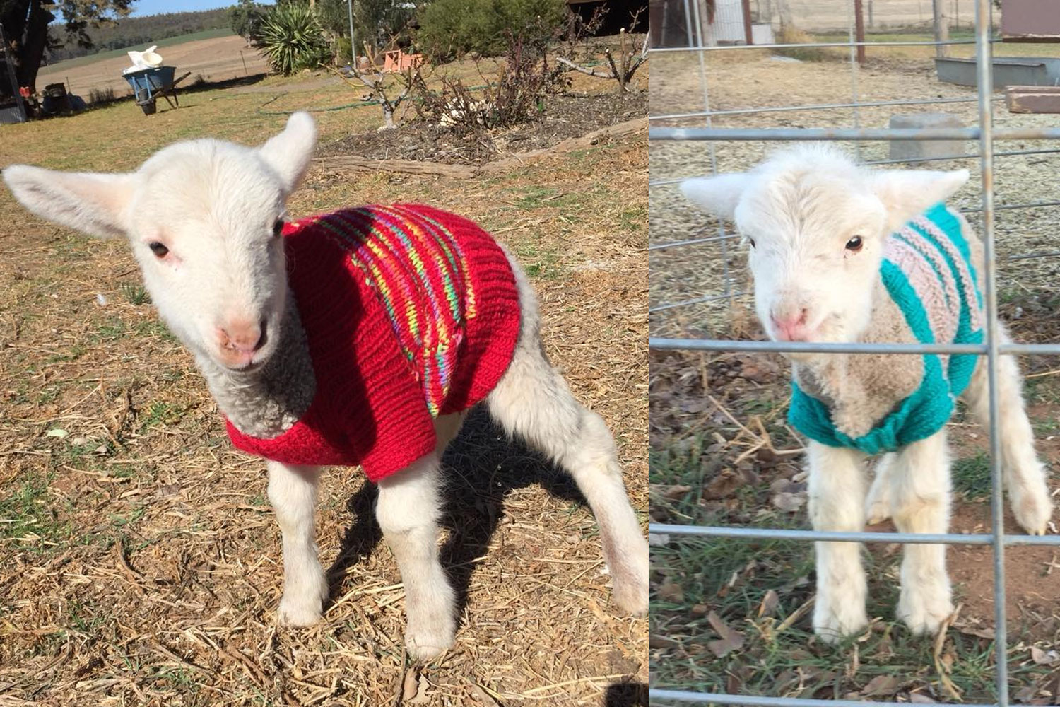 dbe6d51bd How to help by knitting jumpers for lambs
