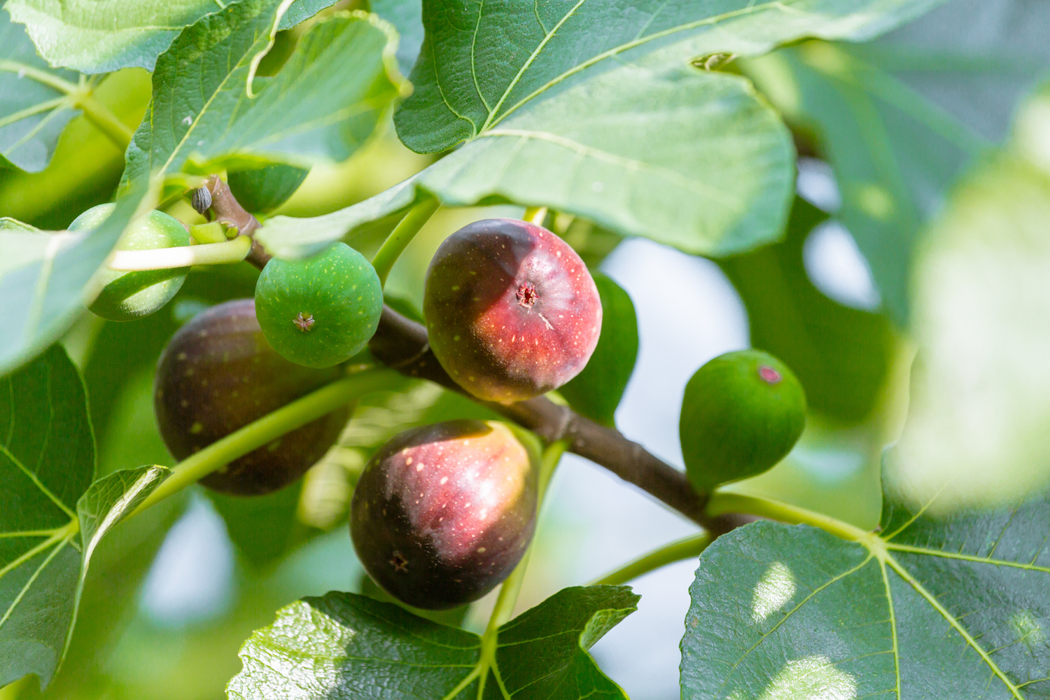 Growing Figs Learn How To Grow A Fig Tree Better Homes And Gardens