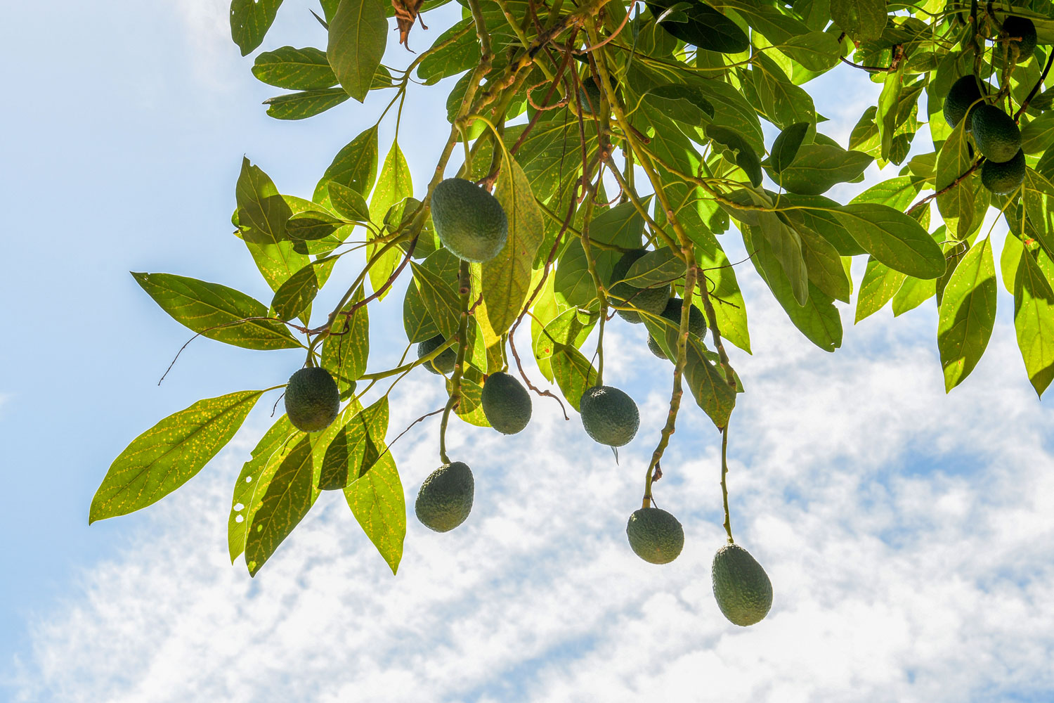 How To Grow Avocado Growing An Avocado Tree Better Homes And Gardens
