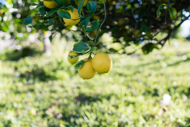 Growing Lemon Trees: How to Plant & Grow Lemons | Better