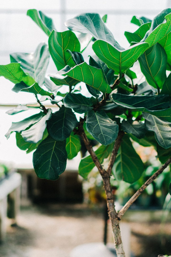 Fiddle Leaf Fig: How to Care for Your Fiddle Leaf Fig