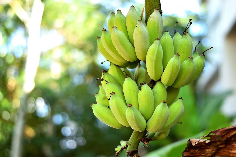 Banana Plants: How to Grow Bananas | Better Homes and Gardens