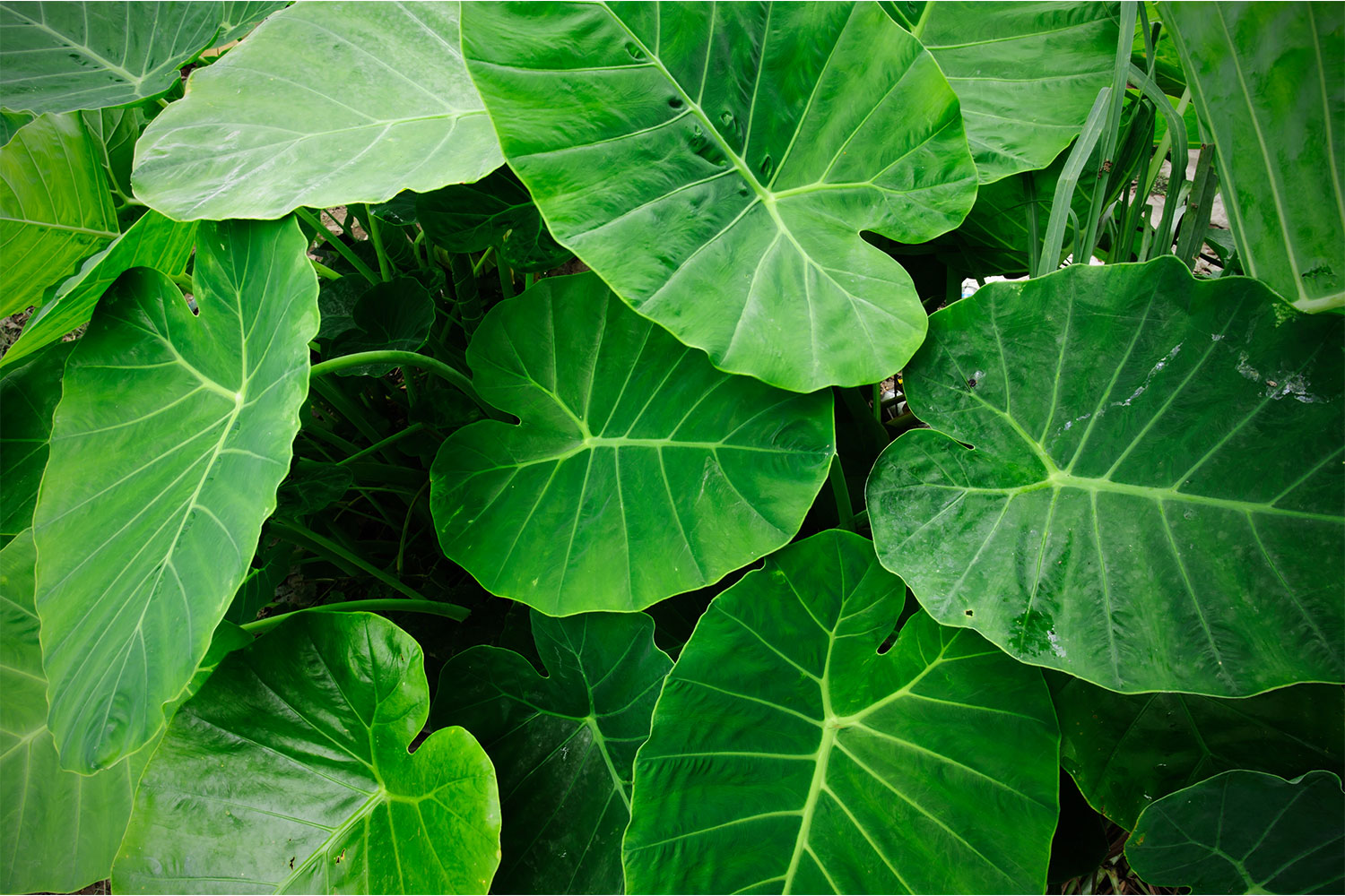 How To Grow And Care For Elephant Ears Plant Or Alocasia Better Homes And Gardens