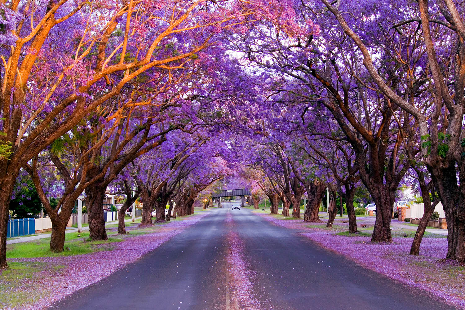 best places to see australia u2019s jacaranda trees this spring