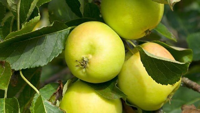 green apple fruit tree. how to grow an apple tree green fruit