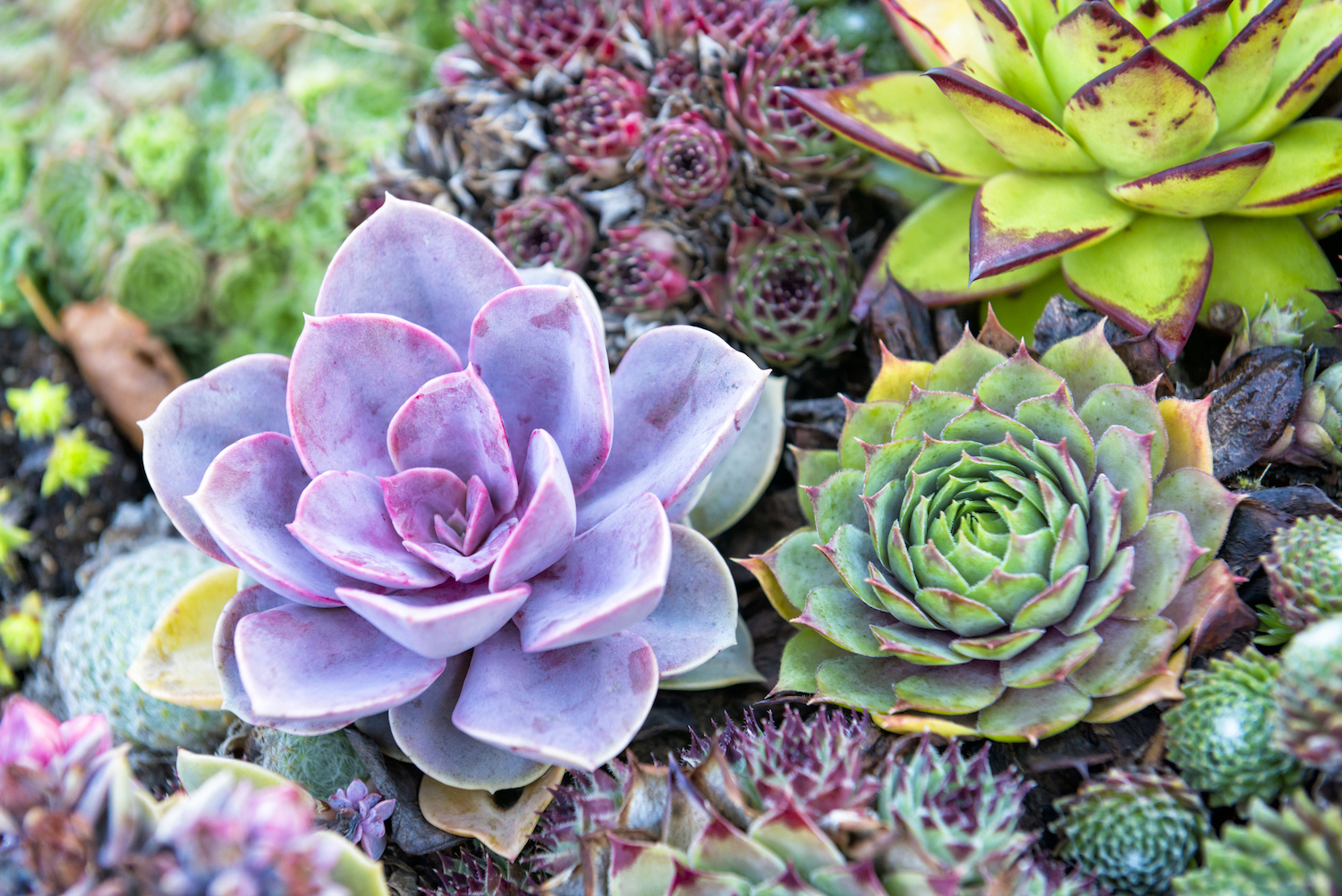 succulent plants 11 types of succulents better homes and gardens. Black Bedroom Furniture Sets. Home Design Ideas