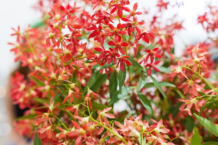 Christmas Bush Tree Australia.Australian Native Plants A Guide To Australian Plants