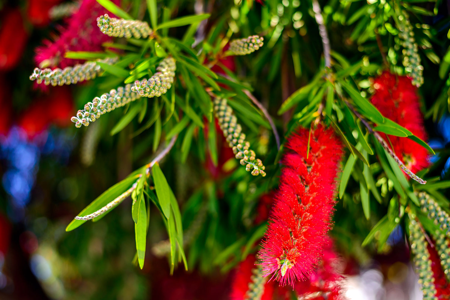 The essential guide to Australian native plants