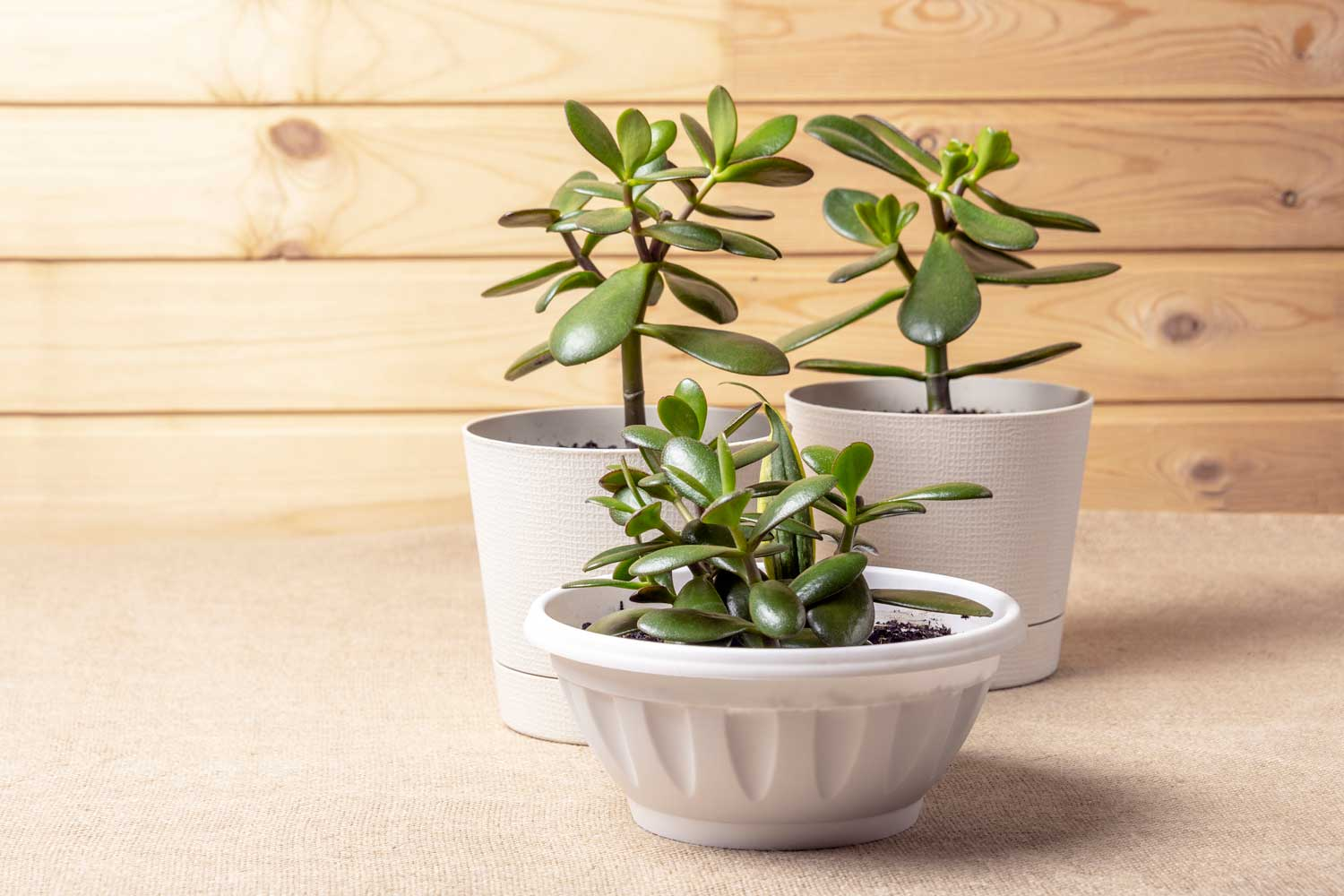 1 Easy Plants/® Jade Plant Lucky Money Plant @ White Floral Pot /& Saucer