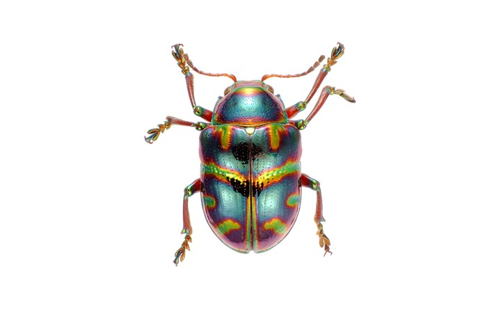Australian Christmas Beetle.Everything You Need To Know About Christmas Beetles Better