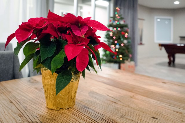 Everything You Need To Know About Poinsettias Better Homes And Gardens