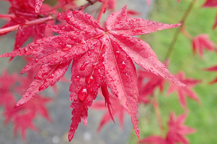 Japanese Maple 11 Japanese Maple Trees Better Homes And Gardens