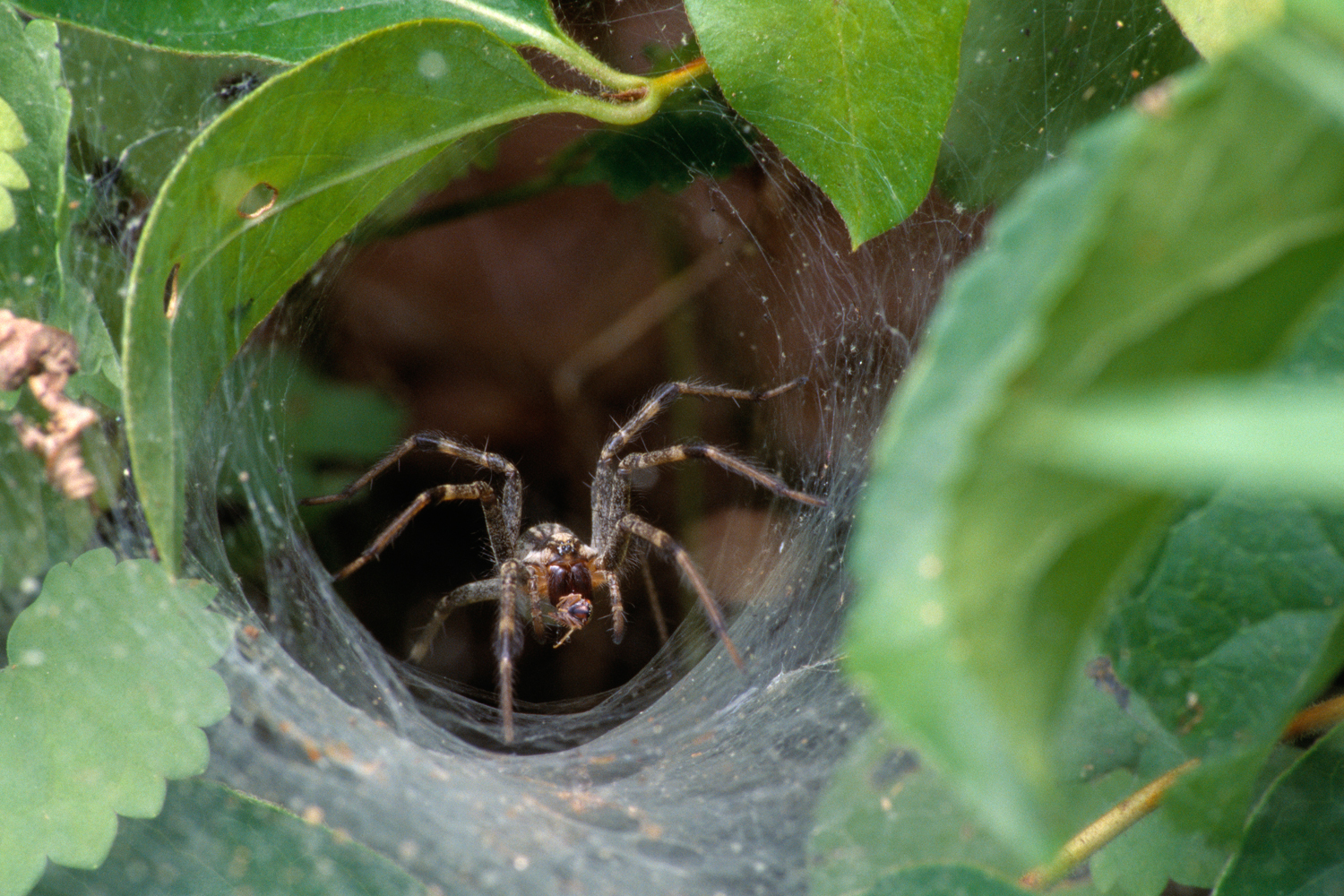 Experts warn: Beware of funnel-web spiders in this rain ...