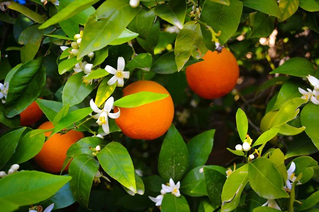 Garden Better: pruning roses and caring for citrus