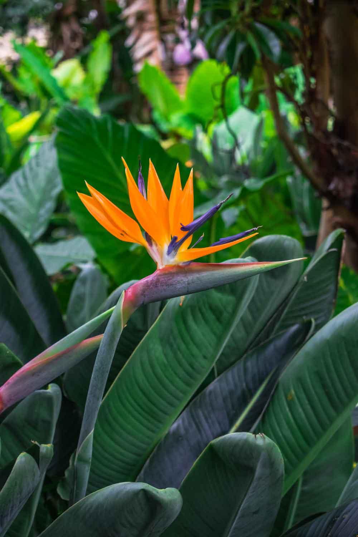 orange bird of paradise seedlings Strelitzia reginae