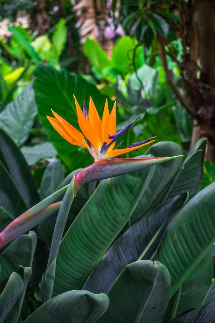 How To Tell The Difference Between Birds Of Paradise Plants Better Homes And Gardens