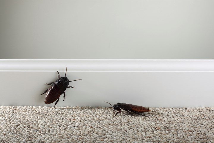 Natural Cockroach Repellent Australia The Top 5 Options Better Homes And Gardens