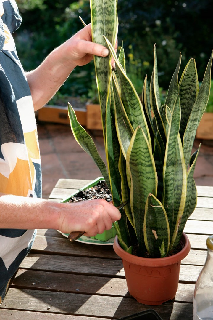 Snake Plant How To Care For A Mother In Law Tongue Plant Better