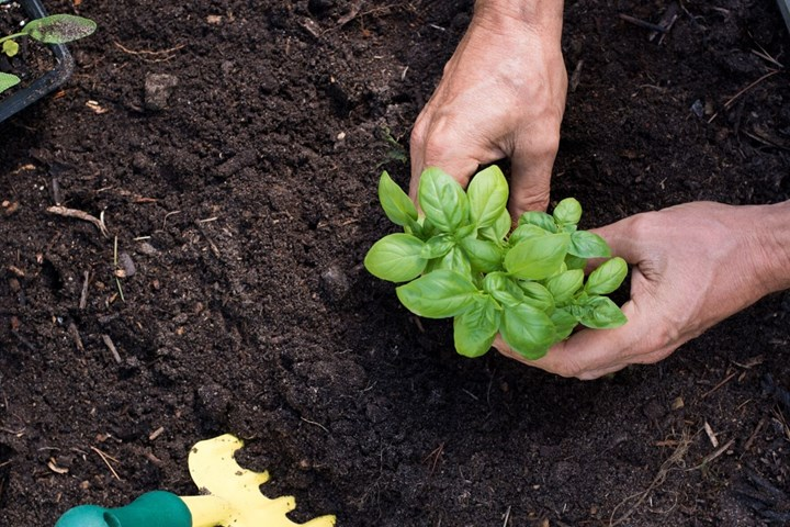 How to Grow Basil: Best Tips for Growing Basil In Your Garden