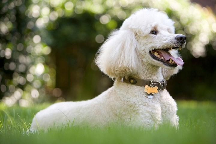 Intelligent Dog Breeds: The 10 Smartest Dog Breeds