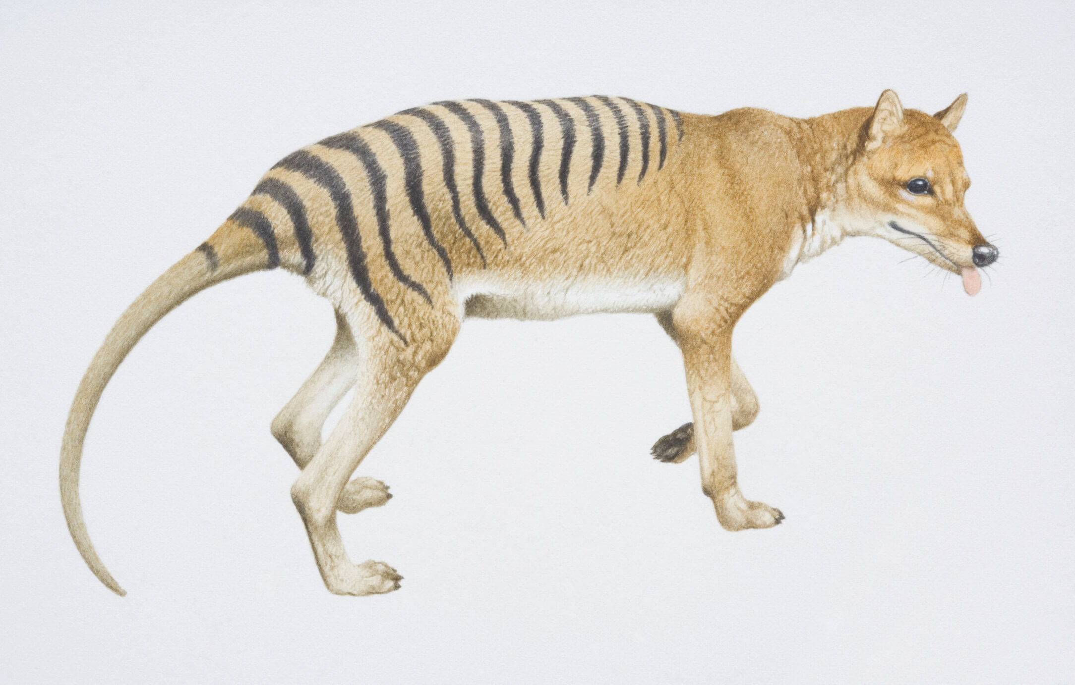 Tasmanian Tiger Sightings Most Recent Thylacine Sightings Better Homes And Gardens