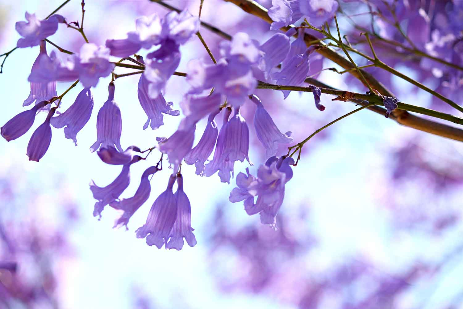 How to grow jacaranda trees | Better Homes and Gardens