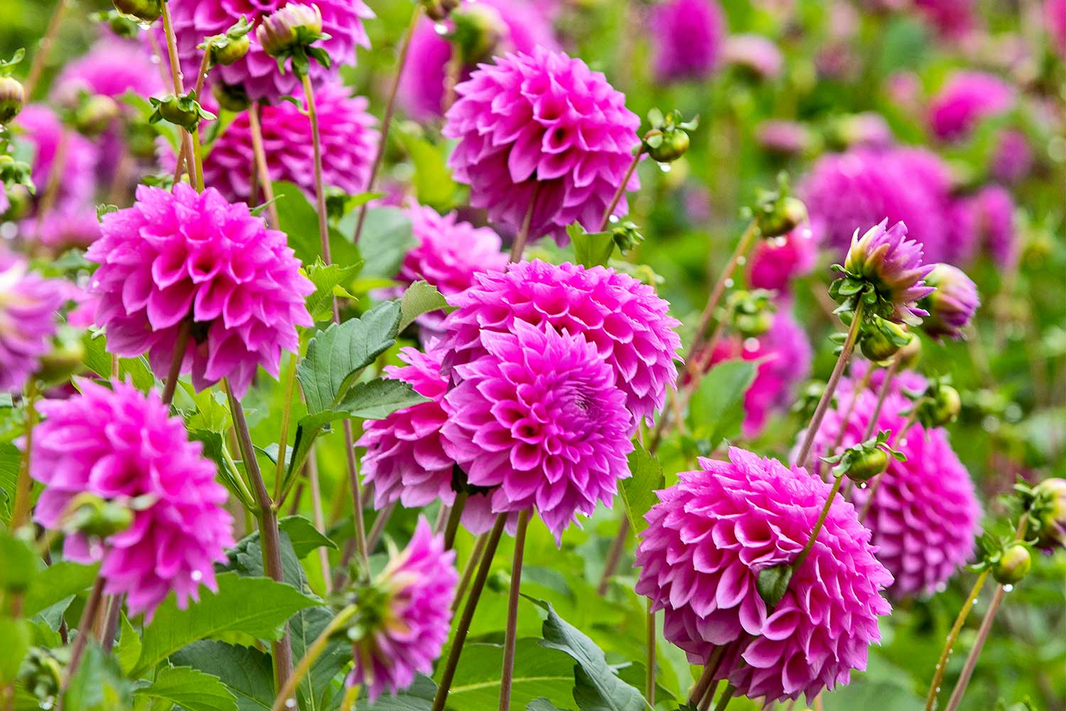How To Grow Dahlias Better Homes And Gardens