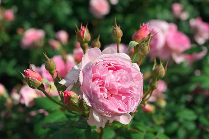 Pink David Austin rose