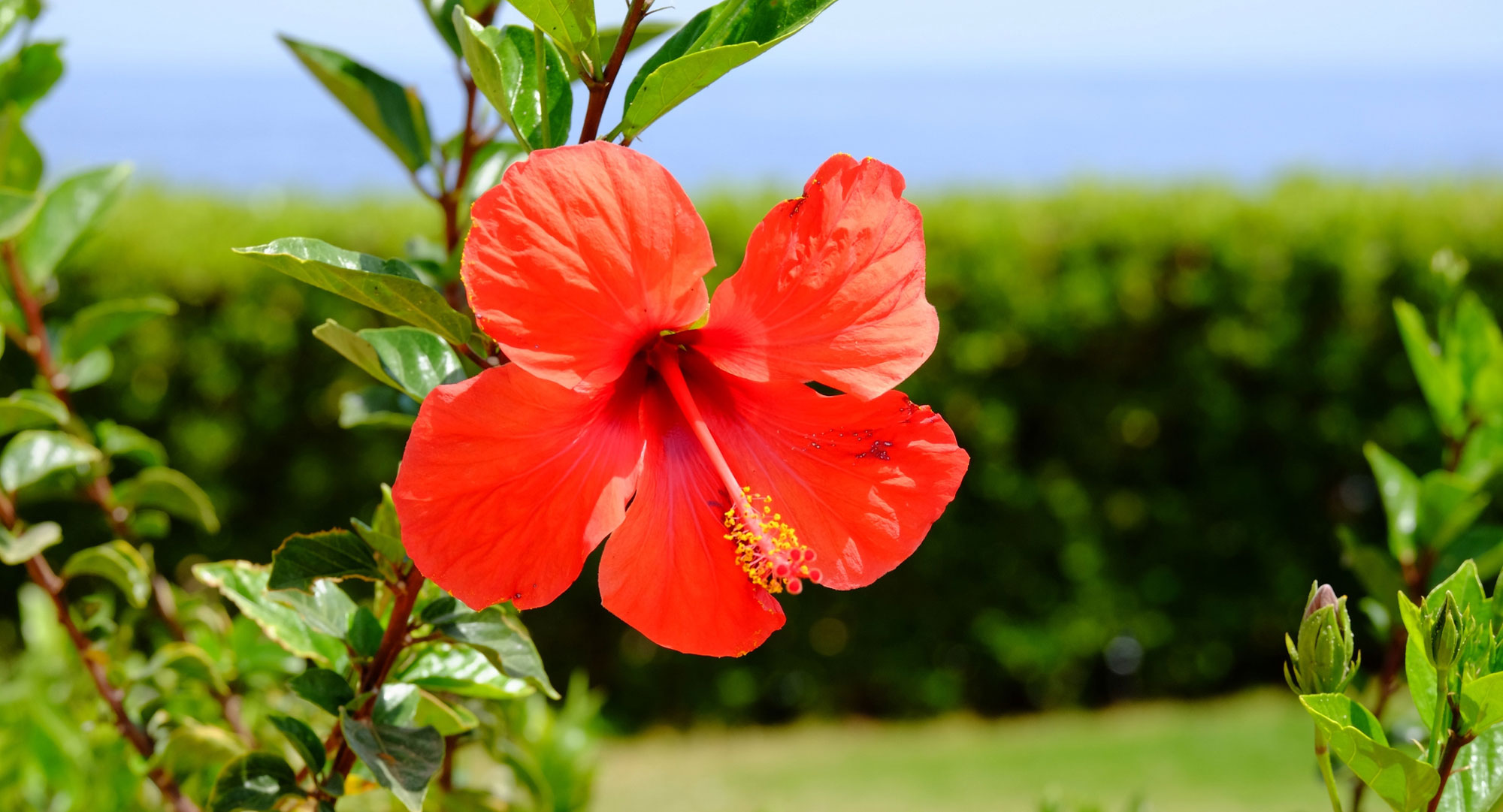 Hibiscus Flowers & How To Grow Them