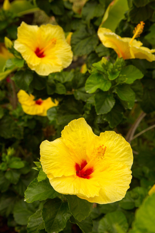 Cinnamon Grappa Hardy Hibiscus Plants for Sale (Rose