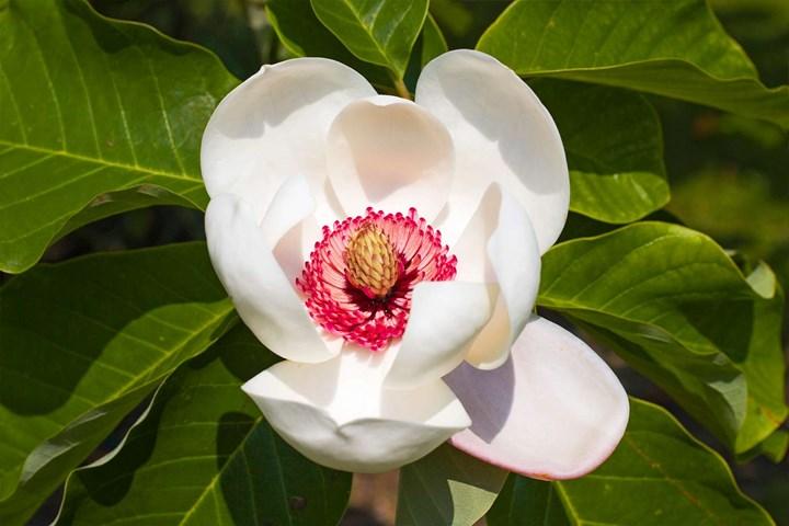 Wilson's magnolia