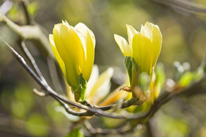 Cucumber magnolias