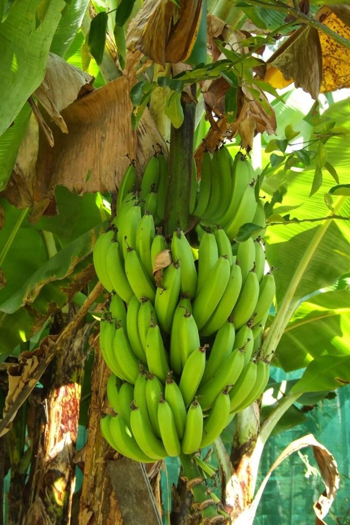 Bananas Cavendish que crecen en el norte tropical de Queensland