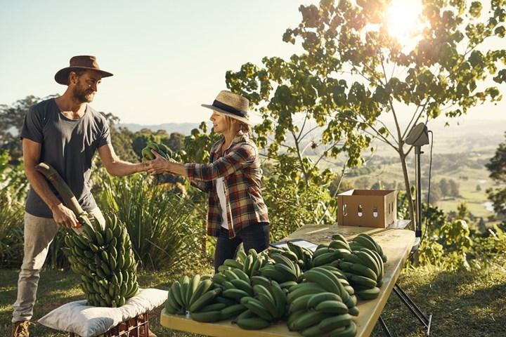 Dos personas cosechando plátanos en una ladera