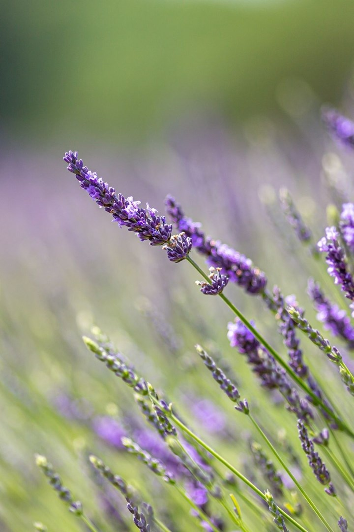 English lavender flower growing outdoors
