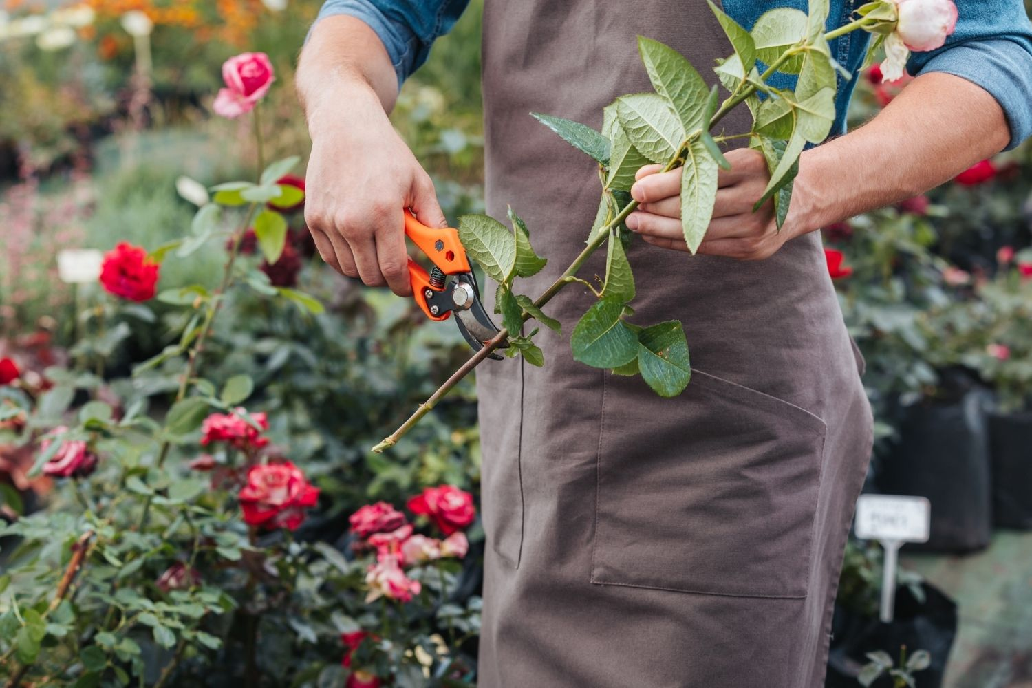 How To Grow Rose Clippings In A Potato Better Homes And Gardens