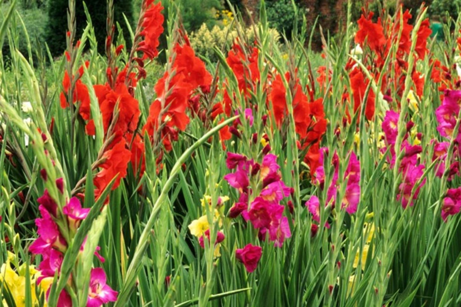 Gladiolus How To Grow Glamorous Gladiolus Flowers Better Homes And Gardens