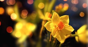 Daffodil Day and 5 facts about daffodils