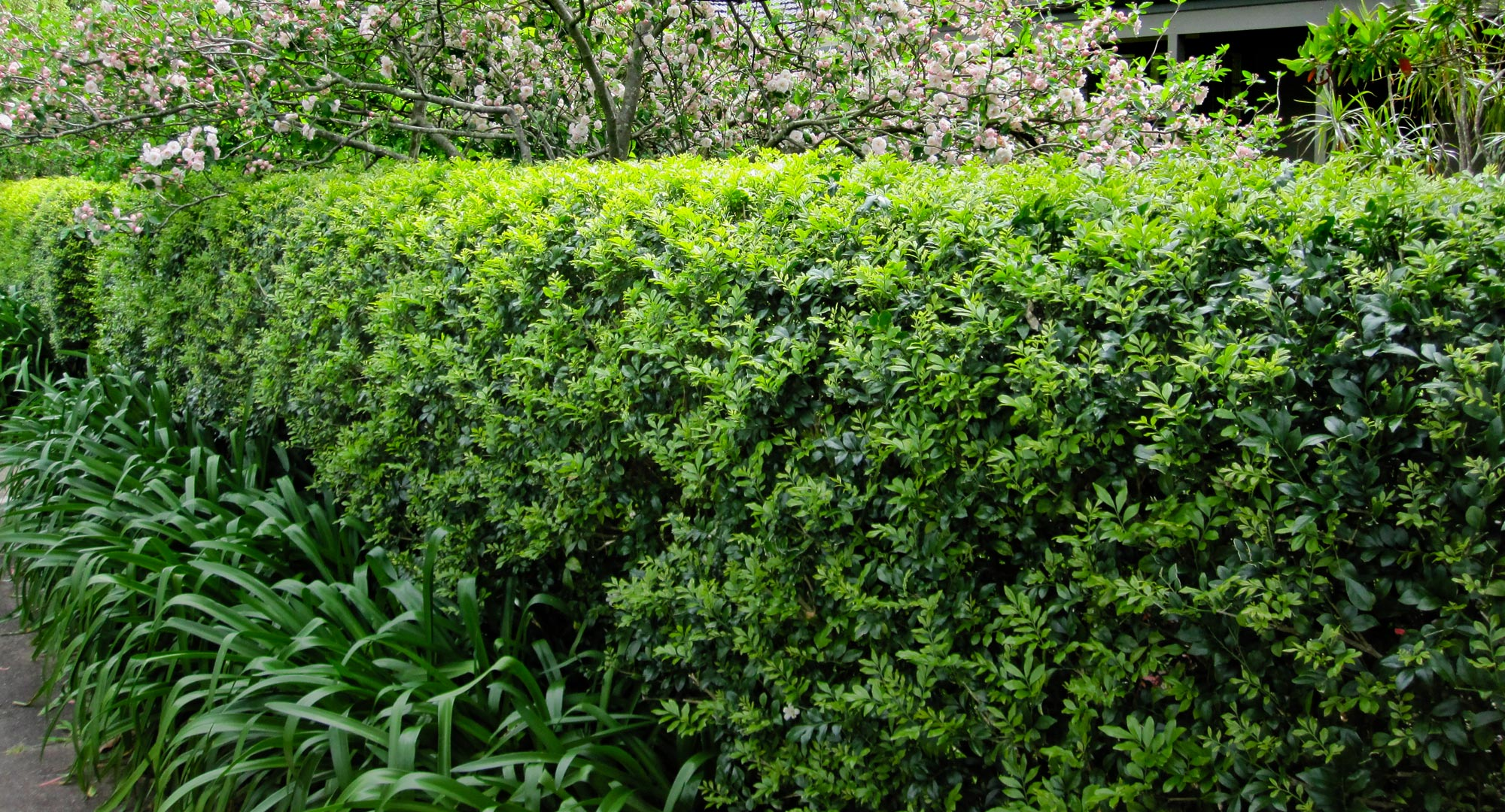 Bring Your Murraya Hedge From The Brink Better Homes And
